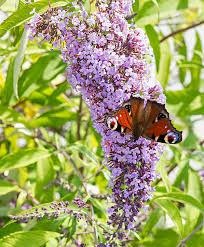 buy ornamental shrubs now butterfly bush wisteria bakker