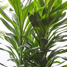 ti plant cordyline glauca plants patch