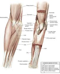 Bicep Innervation Elbow And Forearm Clinical Gate