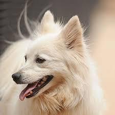 american eskimo dog adoption female american eskimo dog long coat named regina available for