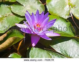 Purple Lillies Water Lilies Purple Lilies Water Lilies Green Western Australia