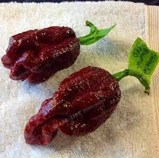 2018 the devil pepper seeds hottest chili in the world 100
