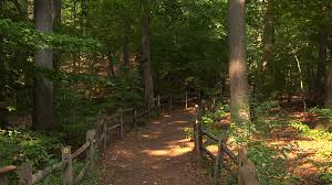 Thain Family Forest Is A 50 Acre Tract Of Original Never Logged