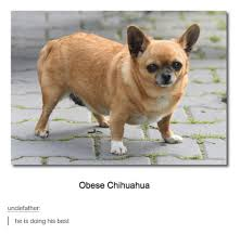 Meme Chihuahua - 25 best memes about obese chihuahua obese chihuahua memes