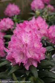 332 best evergreen shrub images on pinterest evergreen shrubs