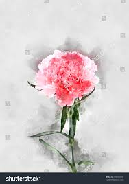 watercolor image pink carnation flower stock illustration