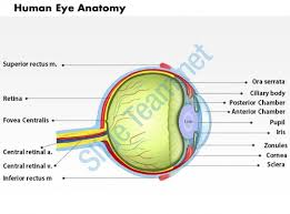 Anatomy Of Human Eye Ppt 60256069 Style Medical 1 Musculoskeletal 1 Piece Powerpoint