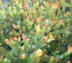 native hedgerow plants natives mama u0027s garden centermama u0027s garden center