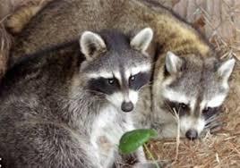 raccoon rabies baiting program to begin on aug 4 pittsburgh post