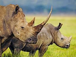 encyclopedia of animal facts and pictures rhinoceros