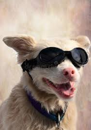 glasses for eyes sensitive to light albino dog with sunglasses stock photo image of mammal 103336746