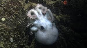 longest living octopus found guards eggs for record 4 5 years