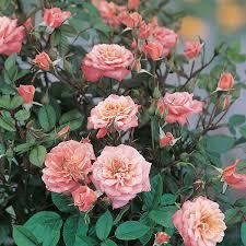 rosa nice day chewsea patio climbing rose dobbies garden centres