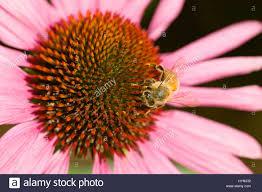 coneflower magnus echinacea purpurea with a honey bee apis