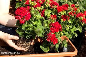 topfpflanzen balkon topfit fürs topfgärtnern topfpflanzen blütenrausch