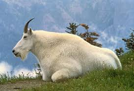 mountain goat wikipedia