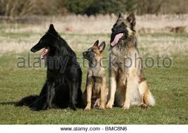 belgian sheepdog pups a groenendael belgian shepherd dog puppy stock photo royalty free