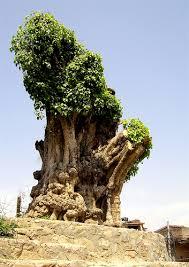 special tree on the way to kopan kathmandu nepal flickr