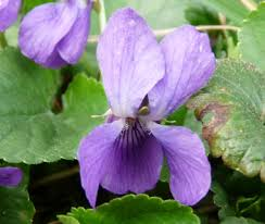 Violet Wild Violet Pictures Flowers Leaves And Identification Viola