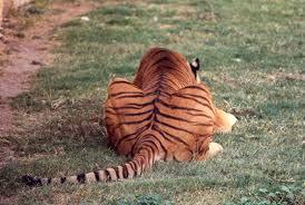 tiger back 1 by ngatuny on deviantart