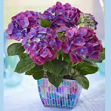 Purple Hydrangea Hydrangea U2013 Shaheena Flowers