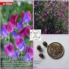 10 sweet pea u0027cupani u0027 seeds lathyrus odoratus ideal fragrant