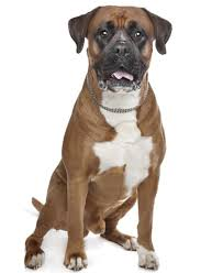 boxer 9 things you need to know before getting a pitbull boxer mix