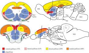 Thalamus Part Of The Brain Frontiers What Is The Thalamus In Zebrafish Neuroscience