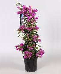 buy a container plant now bougainvillea purple bakker com