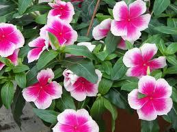 vinca flowers vinca periwinkle our plants kaw valley greenhouses