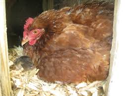 chicken breeds most likely to go broody with guide to letting