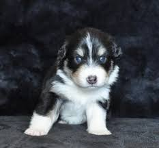australian shepherd quebec aleshanee australian shepherds red n blue n black l