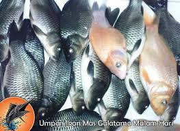 cara membuat umpan mancing ikan mas harian umpan ikan mas galatama malam hari jpg resize 570 416