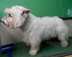 pet grooming the good the bad u0026 the furry u0027pet u0027 westie cut