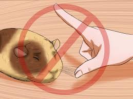 how to get your guinea pig to stop biting you 11 steps