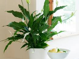 what is the best indoor plant best indoor plants air quality no