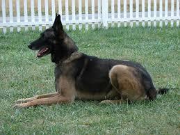 belgian shepherd killed belgian malinois german shepherd cross canis lupis familiaris