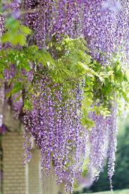 wisteria sinensis australian bush flower 86 best wisteria wind images on pinterest wisteria flowers and