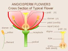 Style Flower Part - angiosperms