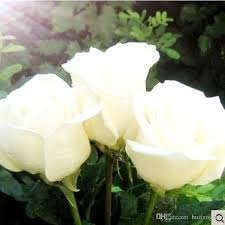 purple roses for sale hot sale 100 seeds beautiful flowers seeds purple white