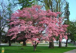 trees with pink flowers pink flowering dogwood tree on sale pink dogwood trees for sale