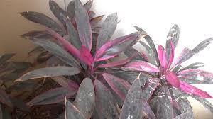 ti plant cordyline fruticosa ti plant growing and care