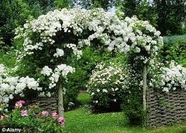 Plants For Pergolas by Coming Up Roses Bring That Boring Pergola To Life By Training