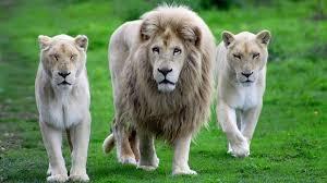 imagenes de leones salvajes gratis las mejores fotos de leones 2018 haciendofotos com