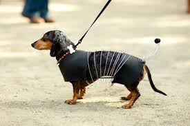 Weiner Dog Halloween Costumes Photos Pups Parading Costumes Gothamist Pet