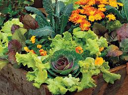 how to grow lettuce southern living