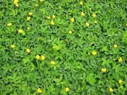 Florida Landscaping Ideas by Ground Cover Plants For Florida Ground Cover Plants Ground
