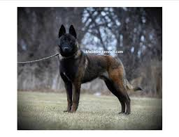 belgian malinois markings dark sable belgian malinois