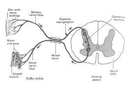 Knee Reflex Arc Reflex Arc