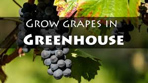 grow grapes in greenhouse in cold climates forgardening